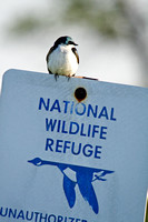 Tree Swallow on a Sign-10