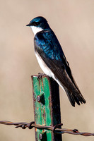 Tree Swallow on a Post