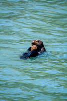 Sea Otter Feeding on a Crab-2-2