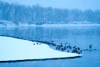 Canada geese on the Missouri on a Snowy Evening