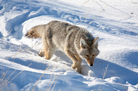 Coyotes in the Snow-6