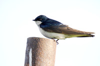 Tree Swallow on a Post-2
