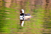 Hooded Merganser on a River-3