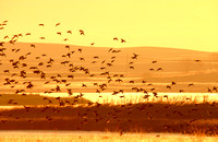 Waterfowl over a North Dakota Slough at Sunrise
