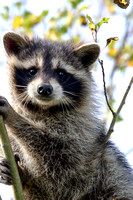 Racoon in Tree-2