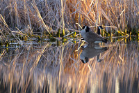 Canada Geese Reflection, North Dakota