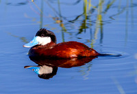 Ruddy Duck Drake on Pond-6