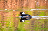 Hooded Merganser on a River-2