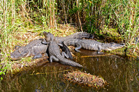 Alligators-2