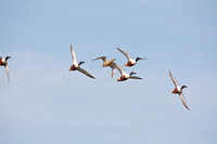 Northern Shovelers in Flight-8