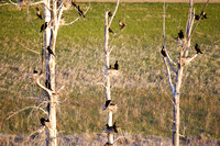 Cormorants Nesting in Tree