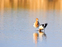 A Pair of American Avocets Posturing on a North Dakota Slough