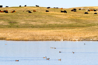 Cattle and Ducks, North Dakota Prairie Pothole Country