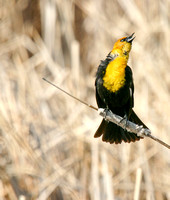 Yellow-Headed Blackbird in the Marsh-6