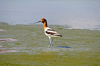 American Avocet in a North Dakota Slough-3