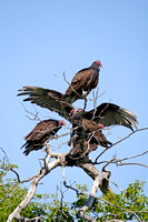 Turkey Vultures in a Tree-4