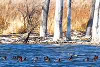 Redhead Ducks on an Icy Slough