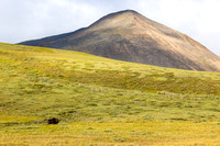 Muskox North of Antigen Pass, Dalton Highway, Alaska-2