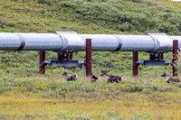 Caribou and the Alaskan Pipeline