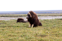 Muskox near Prudhoe Bay, Alaska-8