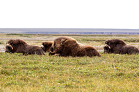Muskox near Prudhoe Bay, Alaska-9