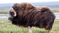Muskox near Prudhoe Bay, Alaska-10
