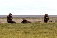 Muskox near Prudhoe Bay, Alaska-14
