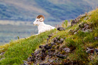 Dall Sheep, Alaska-8