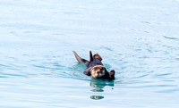 Sea Otter in Resurrection Bay, Alaska