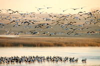 Snow Geese on a Pond
