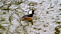 Hooded Merganser Drake with Water Patterns