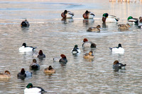 Redheads and other Waterfowl in a Pond-2