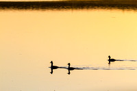 Grebes at Sunrise