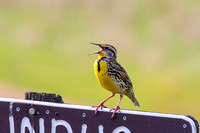 Western Meadowlark singing-2