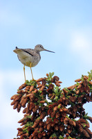 Yellowlegs Perched in a Confier
