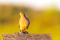 Mourning Dove on Sign