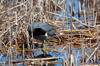 American Coot on a Nest