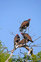 Turkey Vultures in a Tree-2