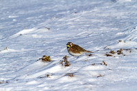 Horned Lark in the Snow