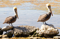 Brown Pelicans on the Beach-5