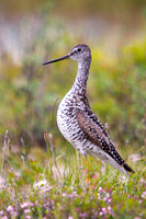Yellowlegs on the Alaskan Tundra