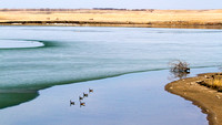 Canada Geese at Ice Out-3
