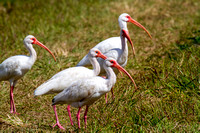 White Ibis in the Everglades