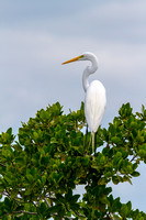 Great Egret in the treetops