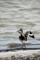 Willets with Wings Spread-2