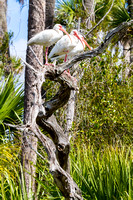 White Ibis in the Everglades-8