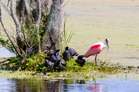 Roseate Spoonbil in the Everglades-9