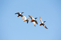 Northern Shovelers in Flight-5