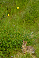 Cottontail Rabbits-2