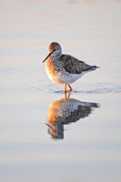 Yellowlegs and Reflection in a Pond